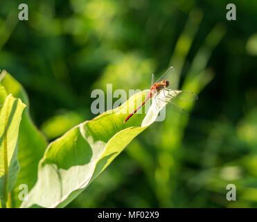 Ruby meadowhawk dragonfly riscaldando le sue ali su una foglia.