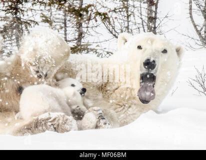 Assonnato orso polare mom coccole e infermieri i suoi cuccioli. Foto Stock