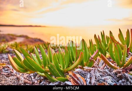 L'Italia, Sardegna, Lu Litarroni, piante al tramonto Foto Stock