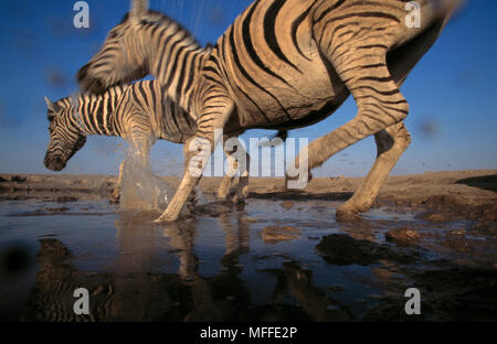 La BURCHELL o pianure ZEBRA Equus burchelli due in esecuzione in waterhole Etosha National Park, Namibia Foto Stock