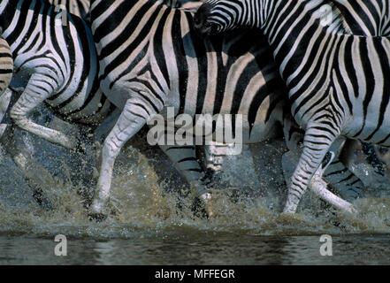 La BURCHELL o pianure zebre Equus burchellii panico a waterhole Etosha National Park, Namibia Foto Stock