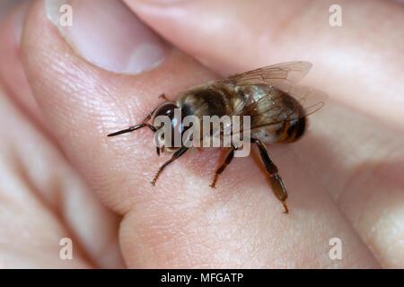 HONEYBEE maschio per mano umana Apis mellifera nota grandi occhi Foto Stock