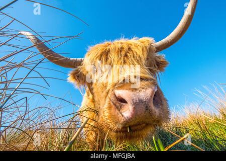 Highland mucca / il pascolo di bestiame sulla brughiera Foto Stock