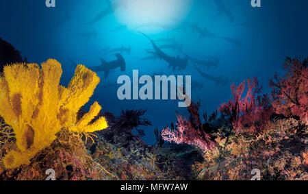 Dentellata (a testa di martello Sphyrna lewini), scuola nuoto su una scogliera di corallo, nelle Molucche, Indonesia Foto Stock