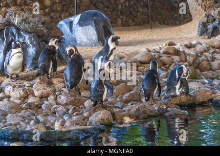 Pinguino africano (Spheniscus demersus), noto anche come il nero africano-footed Penguin è una specie in pericolo di estinzione pinguino. Foto Stock