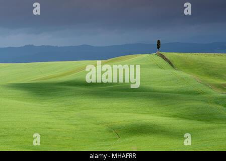 Paesaggio toscano, solitario cipresso sulla collina di rotolamento con il cloud le ombre e la luce del sole sul prato verde in primavera, Asciano Crete Senesi, Toscana, Italia Foto Stock