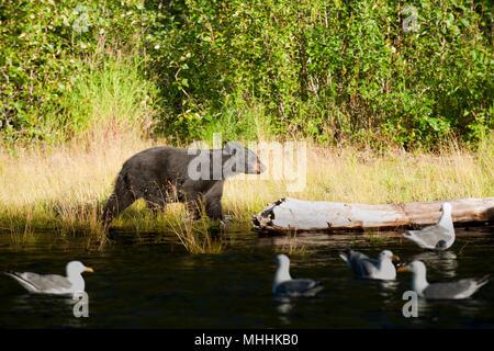 Un orso nero a piedi vicino al fiume russo in Alaska Foto Stock