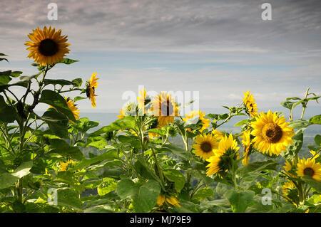 Splendido Sole fiore e Sky Foto Stock