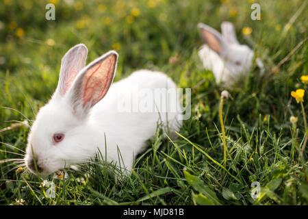 Baby coniglio bianco in primavera erba verde sullo sfondo Foto Stock