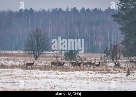 Caprioli su un campo invernale nel Voivodato Podlaskie di Polonia Foto Stock