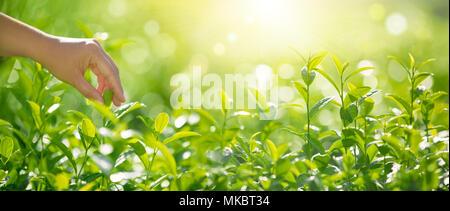 Prelievo a mano le foglie di tè al mattino