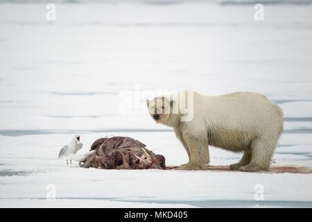 Orso polare (Ursus maritimus) mangiando un tricheco (Odobenus rosmarus), sul ghiaccio, Spitsbergen, Svalbard Arcipelago norvegese, Norvegia, Oceano Artico Foto Stock