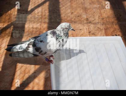 Una Vasca Da Bagno In Inglese : In casa a chiazze di razza piccione inglese tippler seduto sul