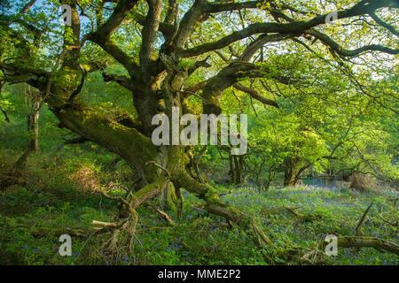 Vecchia Quercia in mezzo bluebells in un East Sussex bosco, Inghilterra. Foto Stock