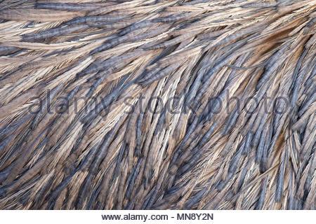 Uno sguardo più da vicino al retro di un captive emu (Dromaius novaehollandiae) rivela una gamma di blu, viola e colori dorati in modelli di sue piume Foto Stock