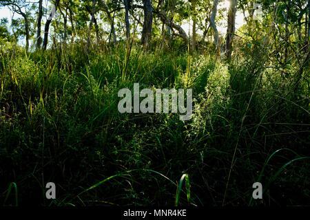 Alti di erba spessa in primo piano la mattina con la luce che passa attraverso gli alberi in background, Jourama cade, Bruce Hwy, Yuruga QLD, Australia