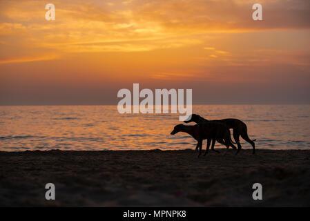 Silhouette di un whippet cane che corre sulla spiaggia al tramonto Foto Stock