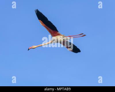 Fenicottero maggiore (Phoenicopterus roseus), volare nel cielo blu, Comacchio, Emilia Romagna, Italia Foto Stock