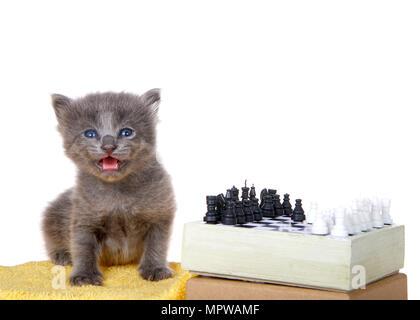 Minuscolo cucciolo grigio seduto su una coperta di giallo accanto a un piccolo set di scacchi, la bocca aperta di guardare direttamente viewer isolati su sfondo bianco. Foto Stock