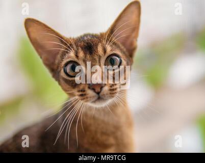 Vista ingrandita del gatto abissino o gattino seduto sulla finestra Foto Stock