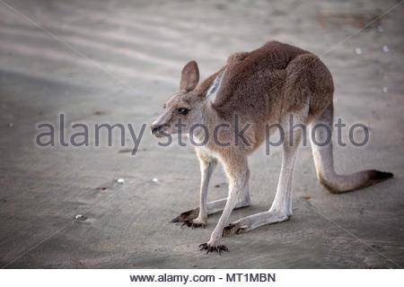 Australian kangaroo sulla spiaggia al tramonto vicino fino Foto Stock