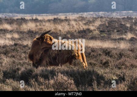 Una mucca higland è in piedi su un moor presso il Veluwe nei Paesi Bassi godendo la mattina presto sun. È una bella giornata durante la primavera. Foto Stock