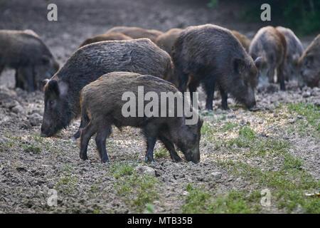 Allevamento di maiali selvatici il radicamento nella foresta per alimenti Foto Stock