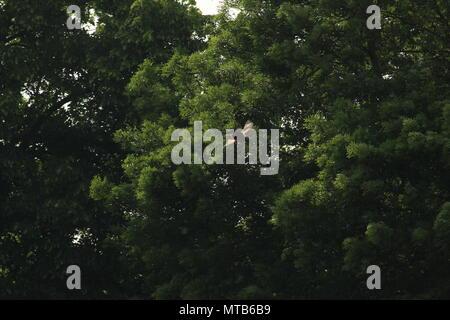Un singolo aquilone rosso, Milvus milvus vola al di sopra di un campo con alberi in background. Spazio per la copia.