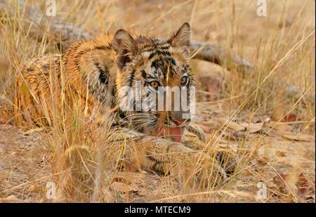 Tigre del Bengala (Panthera tigris tigris), giovane animale durante la cura di rivestimento, sdraiato, Bandhavgarh National Park, Madhya Pradesh, India Foto Stock