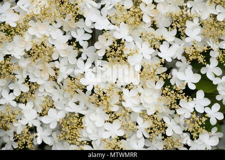 Viburnum Plicatum Estate Il Simbolo Del Fiocco Di Neve Snowball