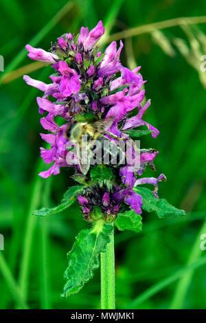 Vista ravvicinata di un nettare di api di raccolta su un viola morti di ortica