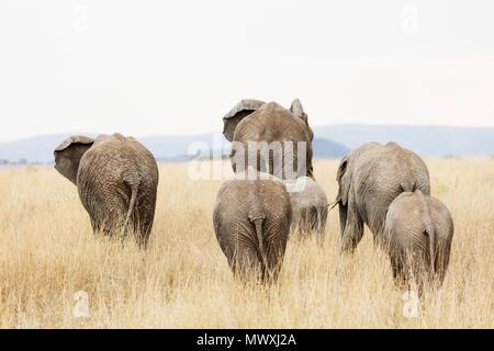 Famiglia di elefante africano (Loxodonta africana), il Parco Nazionale del Serengeti, Sito Patrimonio Mondiale dell'UNESCO, Tanzania, Africa orientale, Africa Foto Stock