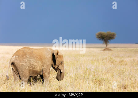 Elefante africano (Loxodonta africana), il Parco Nazionale del Serengeti, Sito Patrimonio Mondiale dell'UNESCO, Tanzania, Africa orientale, Africa Foto Stock