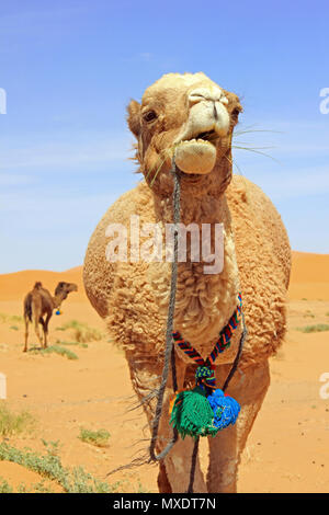 Cammelli nel deserto del Sahara, Merzouga, Marocco