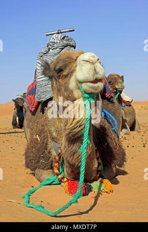 Cammelli sellati in preparazione per prendere i turisti a dorso di cammello nel deserto del Sahara, Merzouga, Marocco