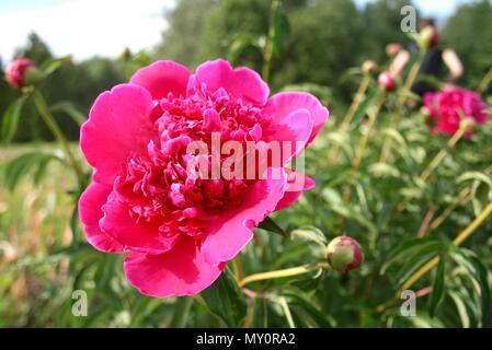 Splendida rosa ortensie in un giardino vicino fino Foto Stock