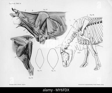 . Anatomiche animali da incisione Handbuch der Anatomie der Tiere für Künstler - Hermann Dittrich, illustrator. 1889 e 1911-1925. Wilhelm Ellenberger e Hermann Baum 126 Vacca muscolatura anatomia
