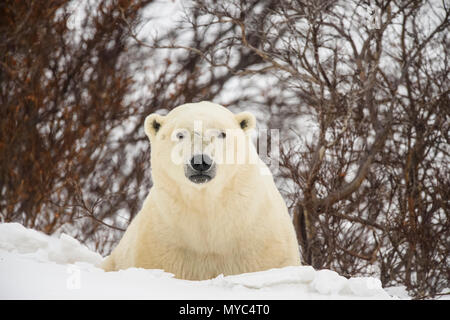 Orso polare (Ursus maritimus) curioso singoli si avvicina, Wapusk National Park, Cape Churchill, Manitoba, Canada Foto Stock
