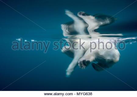 Un orso polare nuotare nelle gelide acque blu Foto Stock