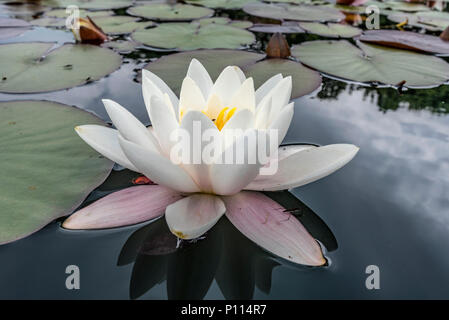 White water lily sul laghetto. Nymphaeaceae Foto Stock