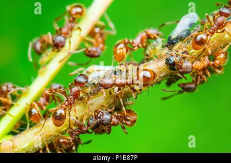 Red Ant e afide di colonia su ramoscello
