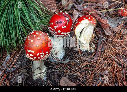 Funghi velenosi. Fungo velenoso con luminose di colore rosso e tappo di macchie bianche flake cresce tra alberi di pino in una foresta.