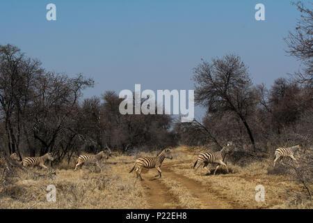 Una linea di 5 zebra attraversare un'erba via strada su safari in Sud Africa Foto Stock
