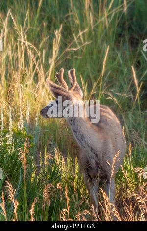 Mule Deer, Odocoileus hemionus in mattina presto luce in Devil's Tower National Monument in Wyoming. Foto Stock