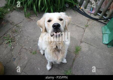 Sorridente Golden Retriever cane su un patio all'aperto Foto Stock