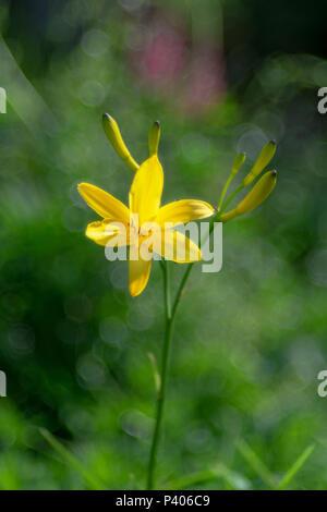 Giorno giallo daisy su sfondo verde con bolla speciale bokeh di fondo. Svezia Foto Stock