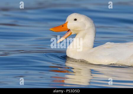 Un apparentemente felice bianco quacking germano reale. Foto Stock