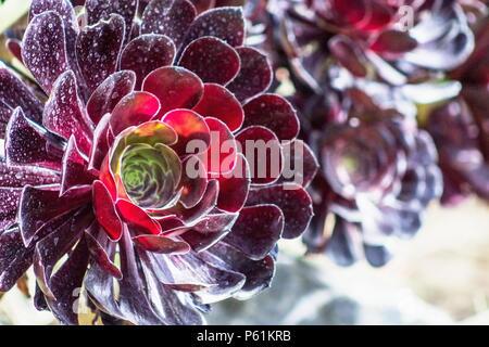 Aeonium arboreum, la struttura ad albero aeonium, albero semprevivo, o rosa irlandese, è un succulento, subtropicale subshrub nella fioritura delle piante Piante succulente | Dicotiledoni della famiglia.