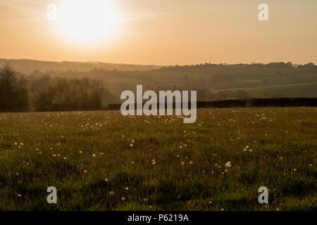Il sole di setting diffusa luce dorata su un campo pieno di tarassaco orologi Foto Stock