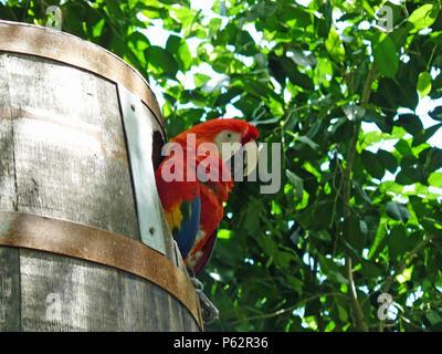 Macaw in un barile Foto Stock